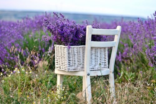 Uses for Lavender Oil lavender in the basket near the field